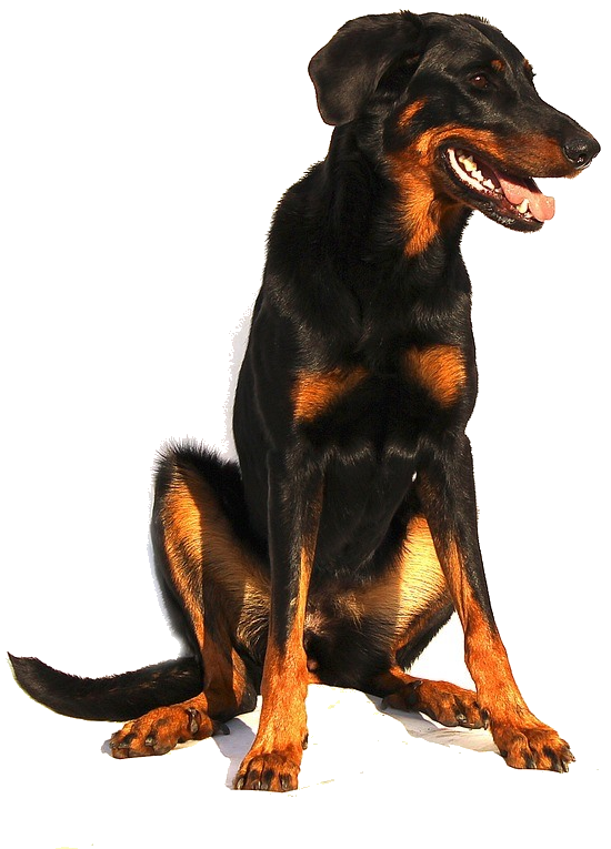 Hundeakademie Salzburg We LOVE the wuff - Beauceron